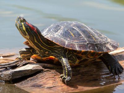 Красноухая черепаха: вот так долгожитель!