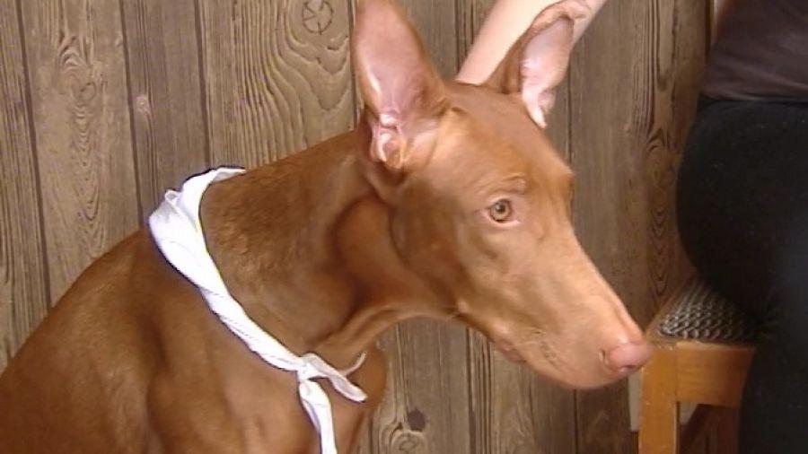 Жизнь замечательных зверей. Выпуск 131. Фараонова собака. Индийский слон. Венценосный голубь